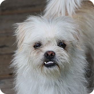 Pekingese/Terrier (Unknown Type, Small) Mix Dog for adoption in Edmonton, Alberta - Odette