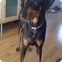 Adopt A Pet :: Lacey - Pierrefonds, QC