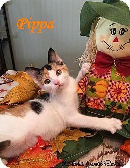 Domestic Shorthair Kitten for adoption in Huntsville, Ontario - Pippa - Adopted December 2016