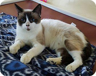 Siamese Cat for adoption in La Crescent, Minnesota - Banzai *Panda Nanny