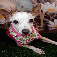 Chihuahua/Miniature Pinscher Mix Dog for adoption in Upland, California - TAFFY