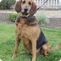 Adopt A Pet :: Honey - Palo Alto, CA