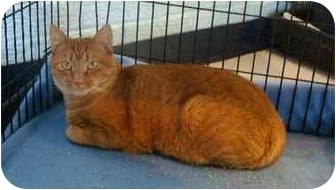 Domestic Shorthair Cat for adoption in Odenton, Maryland - Jo (Josephine)