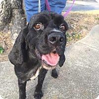 Adopt A Pet :: Joe Cocker - North Little Rock, AR