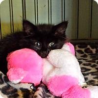 Adopt A Pet :: Donut - Chesterfield, VA