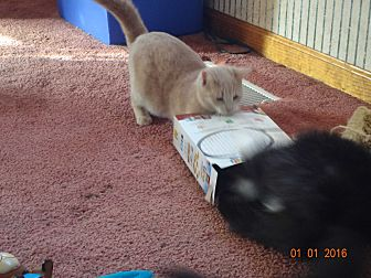Domestic Shorthair Kitten for adoption in Saint Albans, West Virginia - Sage