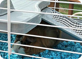 Guinea Pig for adoption in Livermore, California - Chubbie