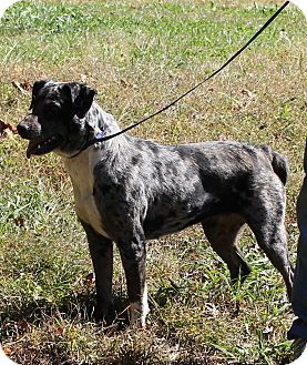Cattle Dog Mix Dog for adoption in Colonial Heights, Virginia - Flirt