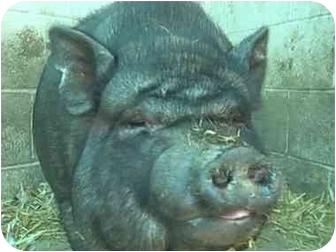 Pig (Potbellied) for adoption in Las Vegas, Nevada - Elizabeth