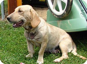 Basset Hound/Labrador Retriever Mix Dog for adoption in Afton, Tennessee - Taffy