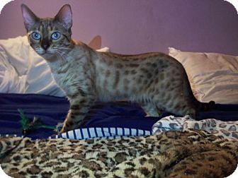Bengal Cat for adoption in Lantana, Florida - Chestnut