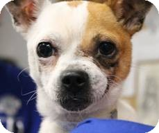 Chihuahua Mix Dog for adoption in Mahopac, New York - ZaZu