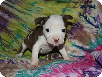 Pit Bull Terrier Mix Puppy for adoption in Asheboro, North Carolina - Althea