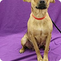 Adopt A Pet :: Luci Cuvee - Broomfield, CO