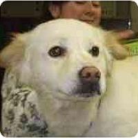 Adopt A Pet :: Cottonball - Richmond, VA