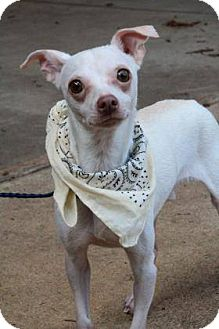Italian Greyhound/Chihuahua Mix Dog for adoption in Lebanon, Connecticut - Frankie
