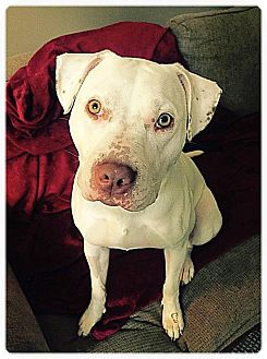 American Pit Bull Terrier/Labrador Retriever Mix Puppy for adoption in Boiling Springs, Pennsylvania - Tiffany