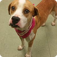Boxer Mix Dog for adoption in Cleveland, Mississippi - MELODY