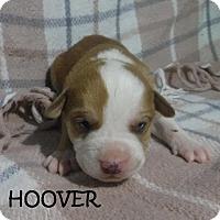 Adopt A Pet :: Hoover - Batesville, AR