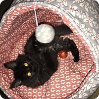 Adopt A Pet :: Raven - Mebane, NC