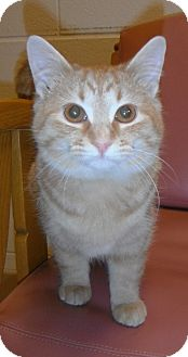 Domestic Shorthair Kitten for adoption in Jackson, Michigan - Winston