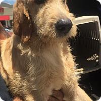 Adopt A Pet :: Cowboy - St. Petersburg, FL