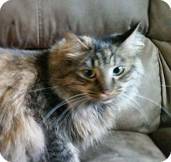 Siamese Cat for adoption in Anchorage, Alaska - Scarlet