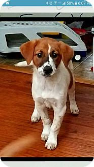 Labrador Retriever/Hound (Unknown Type) Mix Puppy for adoption in Matawan, New Jersey - Dixie Rose (adoption pending)