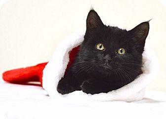 Domestic Shorthair Kitten for adoption in Dublin, California - Pecan