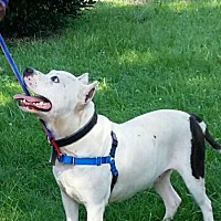 American Staffordshire Terrier Mix Dog for adoption in Apex, North Carolina - Ceasar