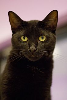 Domestic Shorthair Cat for adoption in Grayslake, Illinois - June
