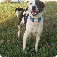 Adopt A Pet :: Ice - San Diego, CA