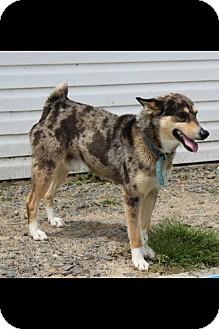 Australian Shepherd/Catahoula Leopard Dog Mix Dog for adoption in Stuttgart, Arkansas - Duke