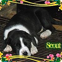 Adopt A Pet :: Scout - Hancock, MI