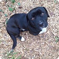 Adopt A Pet :: Bazel - Greenville, SC