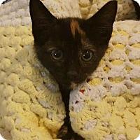Adopt A Pet :: Acacia - Reston, VA