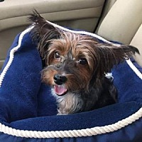 Adopt A Pet :: mollie - Goodyear, AZ