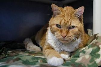 Domestic Shorthair Cat for adoption in New Milford, Connecticut - Garfield