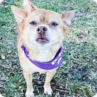 Chihuahua Mix Dog for adoption in Gainesville, Florida - Mollie Mae