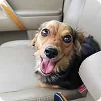 Adopt A Pet :: Lady - Scottsboro, AL