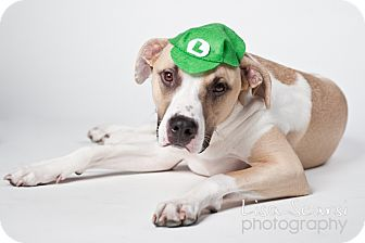 Great Dane/Pit Bull Terrier Mix Dog for adoption in Los Angeles, California - Hudson