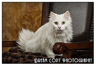 Turkish Angora Cat for adoption in Owensboro, Kentucky - Mayme