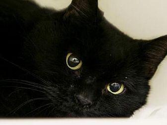 Domestic Shorthair Cat for adoption in Herndon, Virginia - Dena
