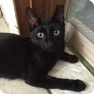 Domestic Shorthair Kitten for adoption in Brooklyn, New York - Sheila
