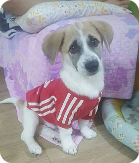 Spitz (Unknown Type, Large) Mix Puppy for adoption in Smithtown, New York - Colin