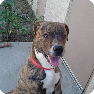 Mountain Cur Mix Puppy for adoption in Seabrook, New Hampshire - Celine