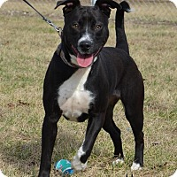 Adopt A Pet :: Bella - DuQuoin, IL