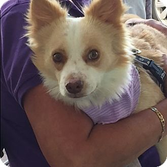 Papillon Mix Dog for adoption in Fort Lauderdale, Florida - PETEY