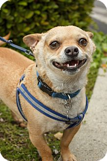 Corgi/Chihuahua Mix Dog for adoption in Santa Clara, California - Ricky