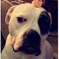 Adopt A Pet :: Sasha - Livonia, MI